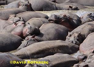 Hippos at Serengeti.jpg