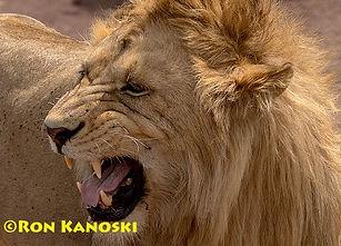 Lion in Ngorongoro.jpg