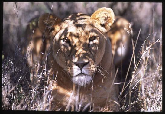 Lioness - Masai Mara - Kenya