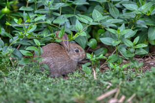 Little Peter Cottontail