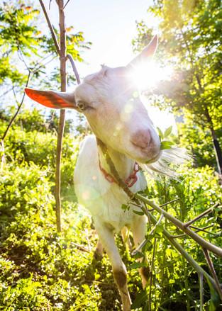 Goats For Web.jpg