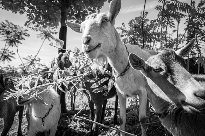 Goats For Web-3.jpg