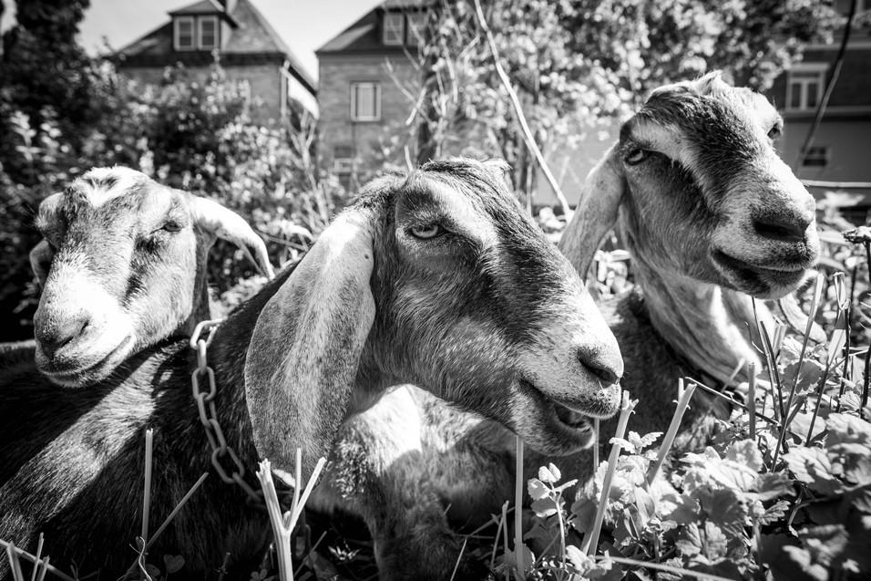 Goats For Web-4.jpg