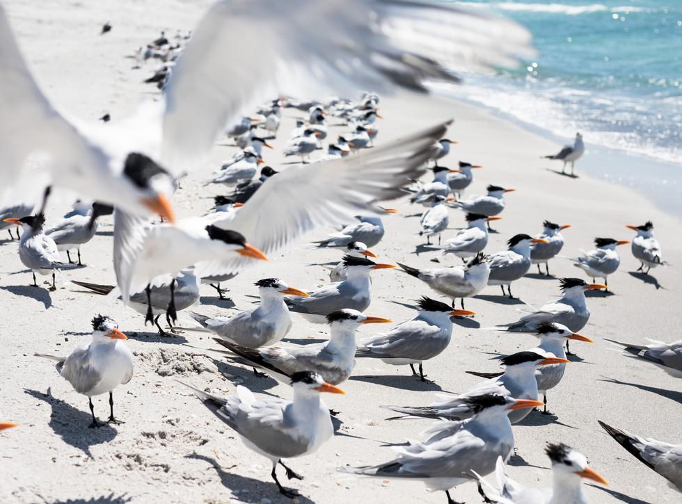 seagulls longboat key