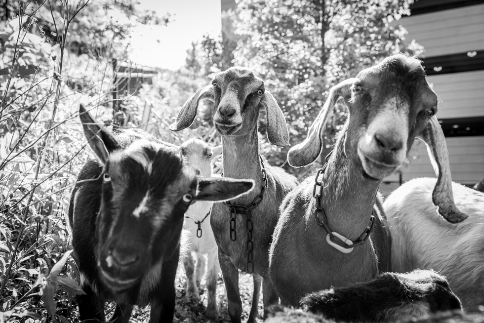 Goats For Web-2.jpg