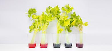 Rainbow Celery