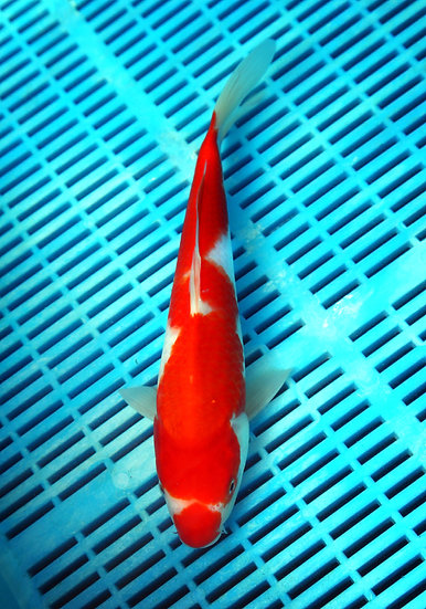 Kohaku (breeder Marudo)