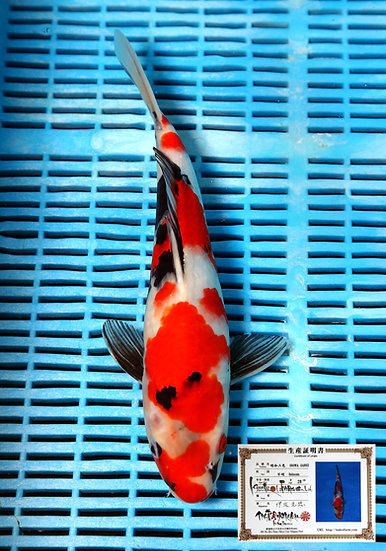 Showa 35cm (breeder Isa) comes with breeders certificate