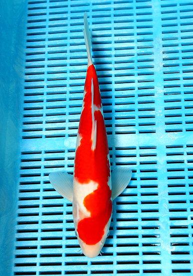 "Kohaku 12-14 "" (breeder Takigawa)"