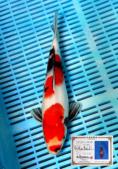 Showa 32cm (breeder Isa) comes with breeders certificate