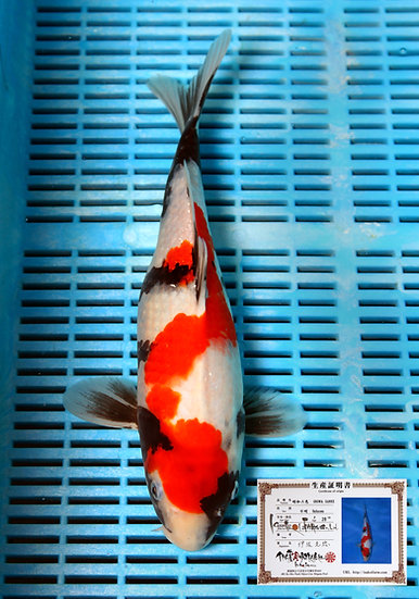 Showa 38cm (breeder Isa) comes with breeders certificate