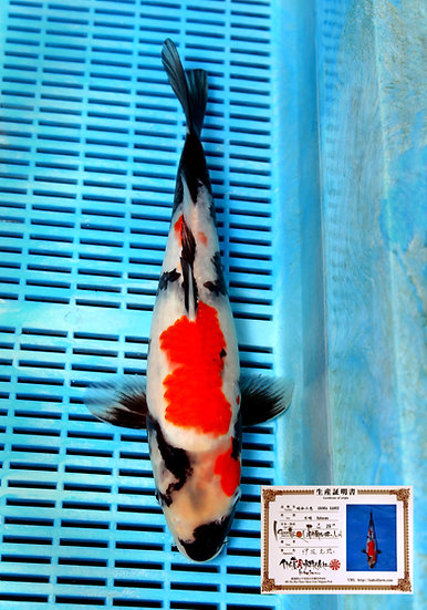 Showa 40cm (breeder Isa) comes with breeders certificate