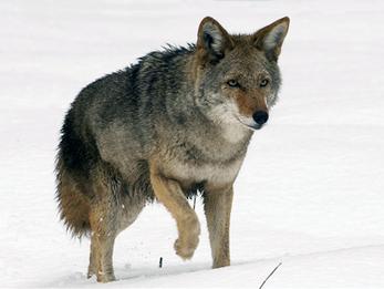 AMU Coyote has yet to catch Road Runner