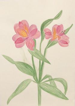 Alstremerium pencil drawing