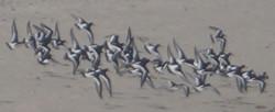 Oystercatchers in flight