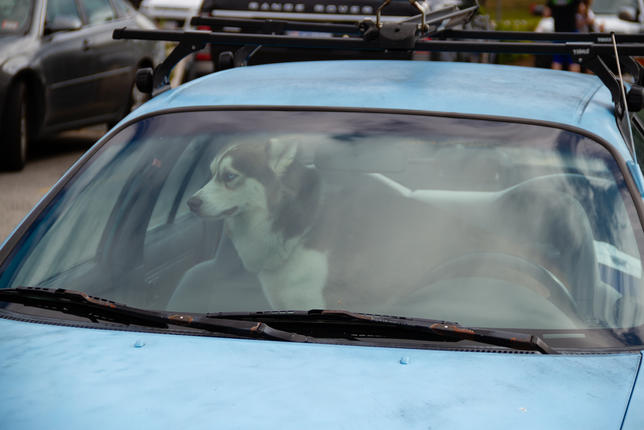Blue Eyed Dog in Blue Car.