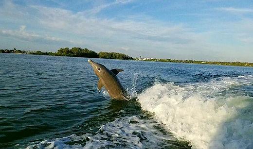 Dolphin on Sarasota Bay
