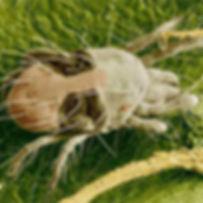spider-mite-insert.jpg