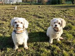 Dog Walker Bellahouston Glasgow