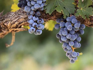 Pokok Anggur dan Ranting-rantingnya
