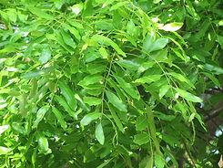 African Mahogany Tree - Leaf.jpg