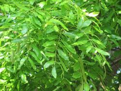 African Mahogany Tree - Leaf