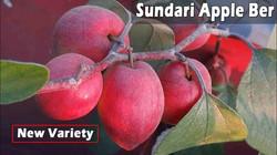 Sundari Apple Ber