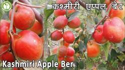 Kashmiri Red Apple Ber