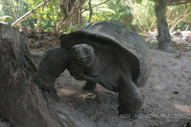 черепаха на острове Курьез