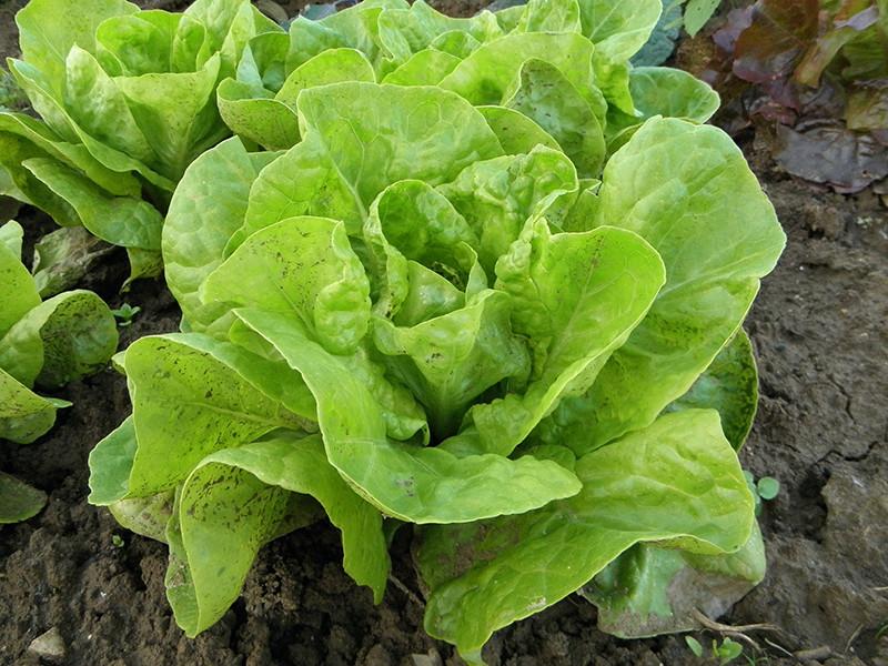 norman howard lettuce