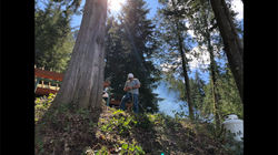Limbing the trees