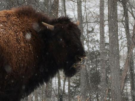 Cibola Farms: Bison in the Snow