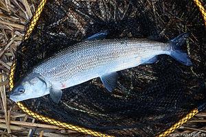 helt-coregonus-laveratus-medefiskeri-pen