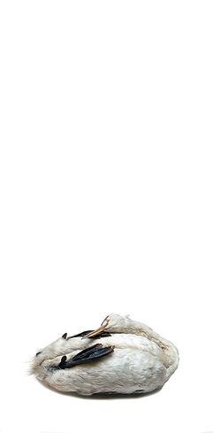 Colymbus cristatus