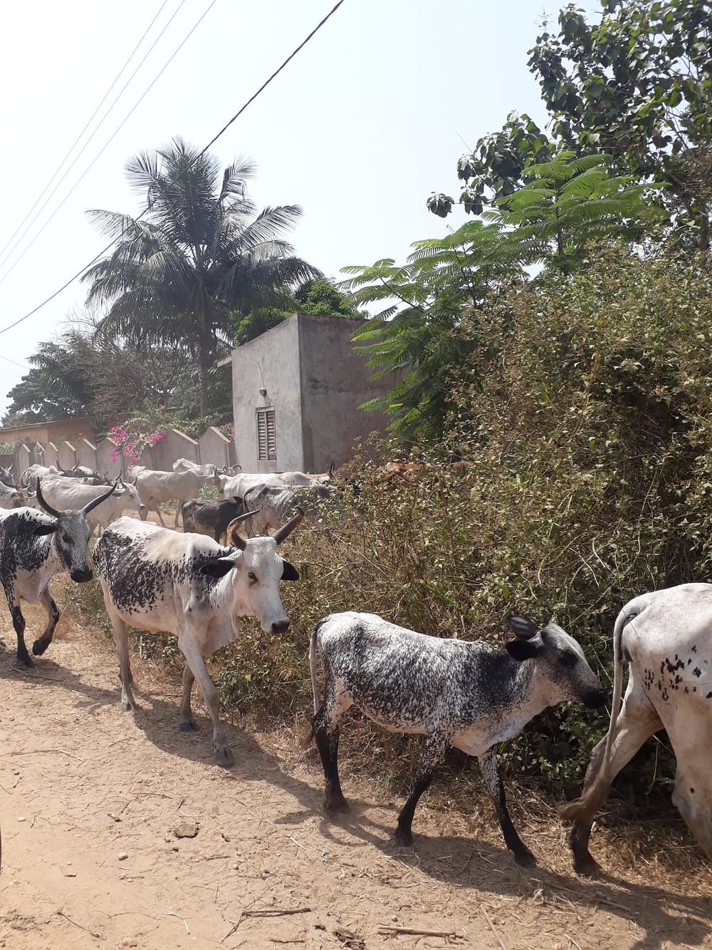 Lehmät matkustaa