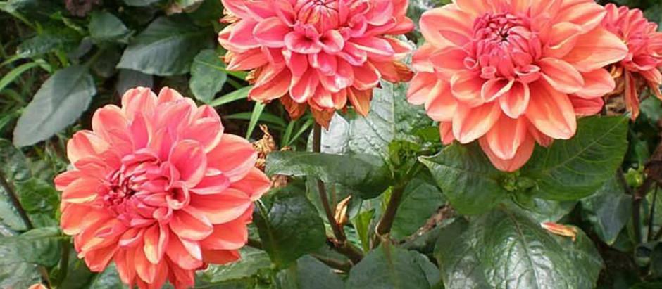 Lembrança de um flor chamada Dália