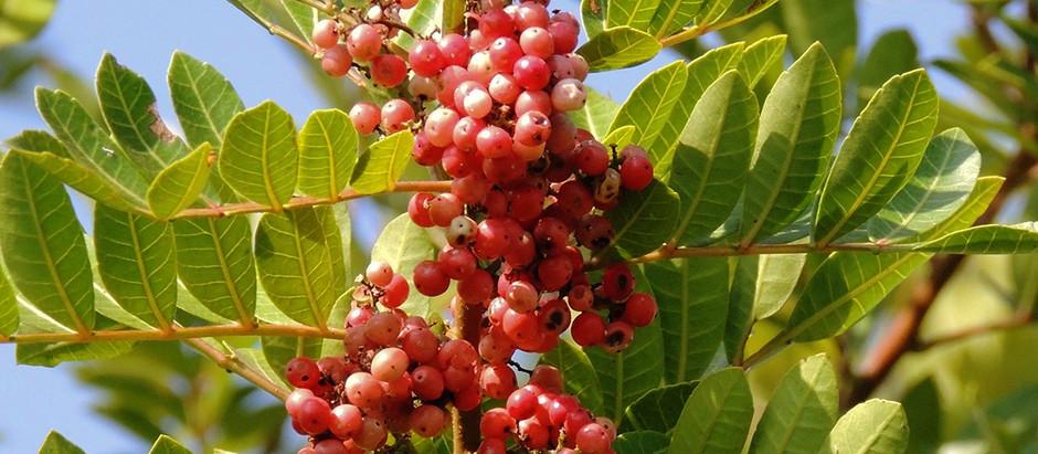 Árvore Pimenteira