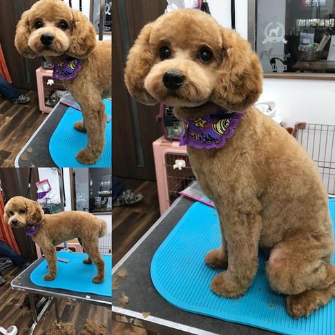 プードルのれもんちゃん✨_子犬さん😍ぷりぷり🎶可愛い❤️れもんちゃんでした!