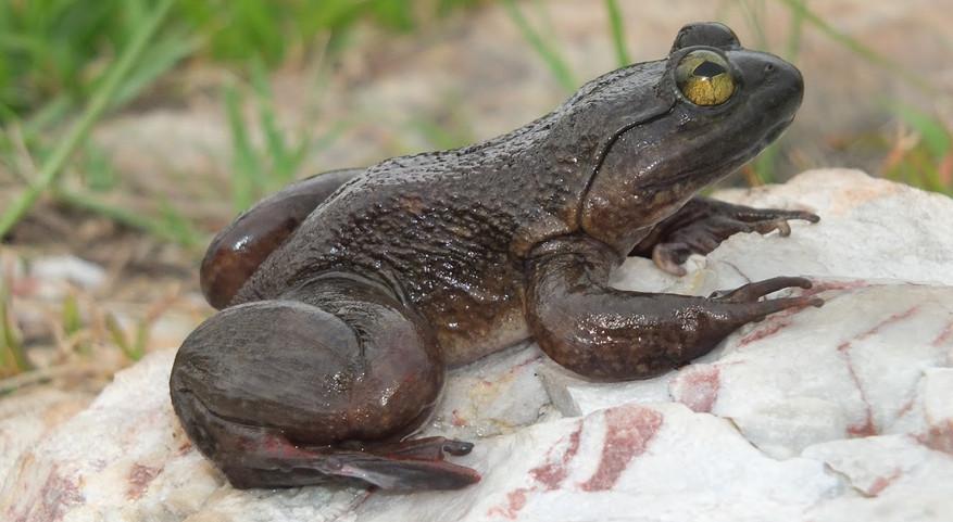 C_derooi Togo slippery frog Amedzofe_Gha