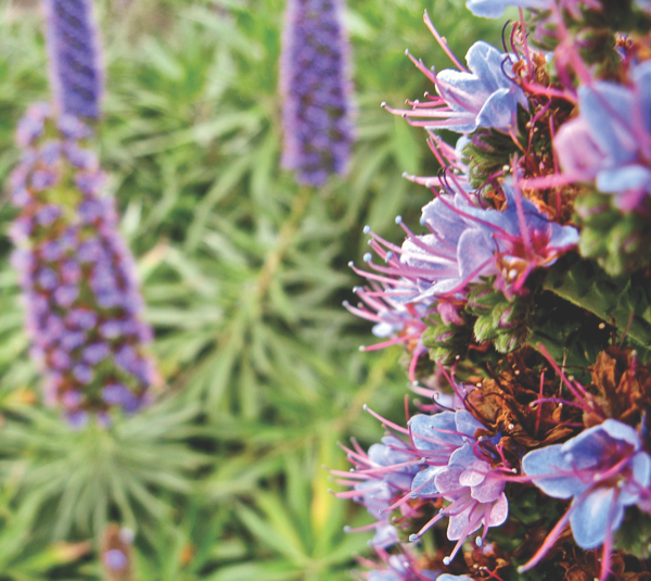 Wildflower Watch: Pride of Madeira traces roots to Portuguese islands