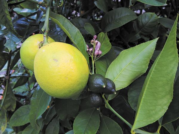 Garden Plot: Autumn is a prime time to plant citrus trees on Tiburon Peninsula