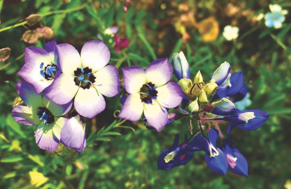 Wildflower Watch: The bird's-eyes gilia may be California's prettiest native