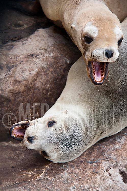 Sea lion (1)