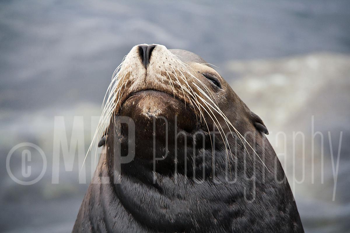 Sea lion (6).jpg