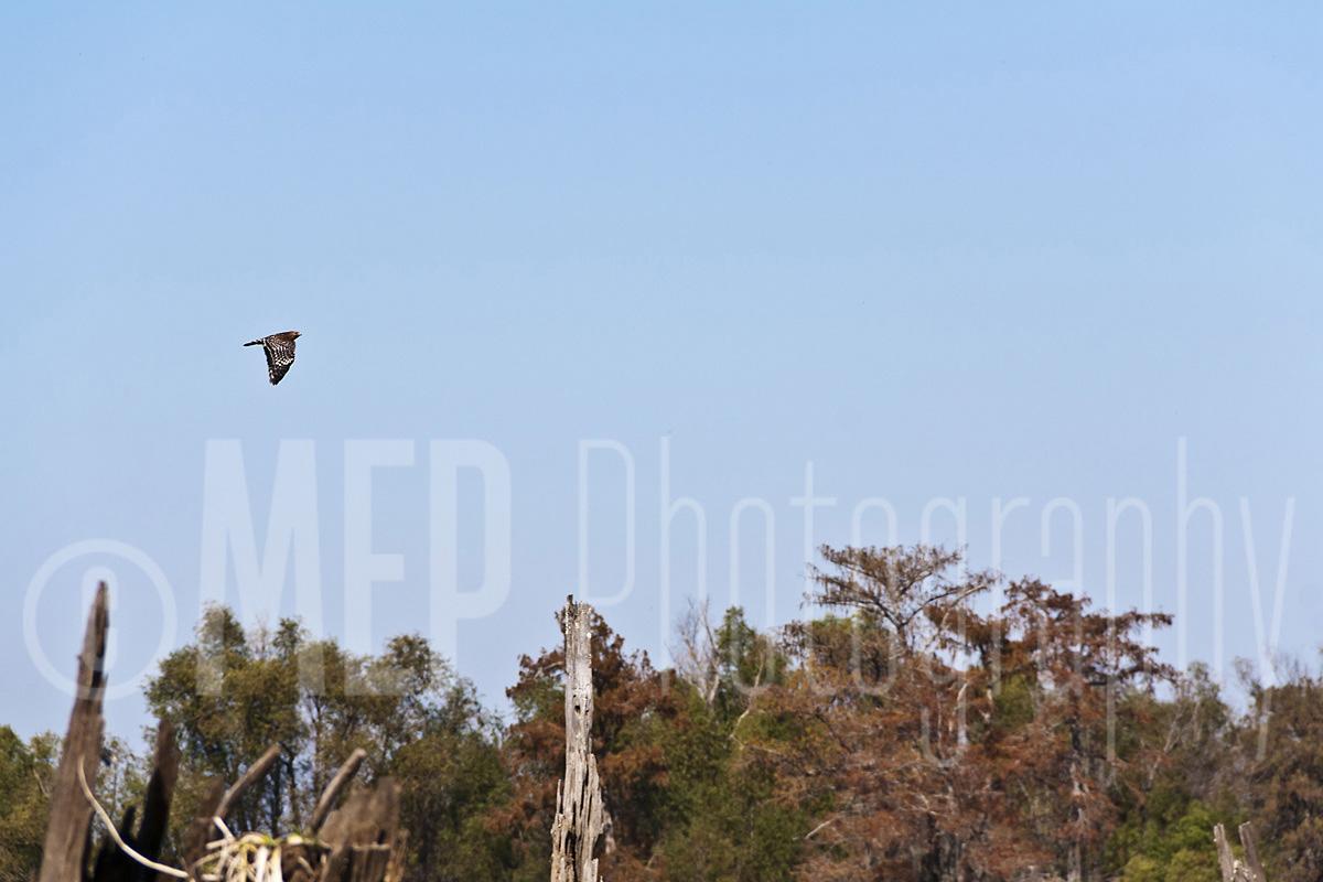 Hawk (2).jpg