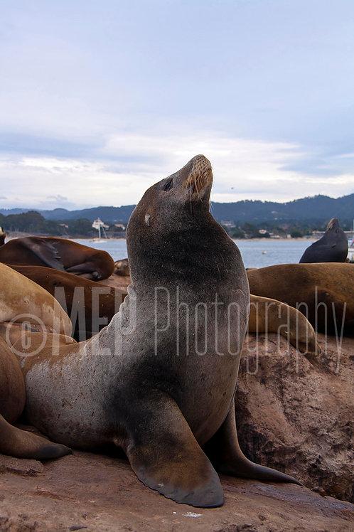 Sea lion (2)