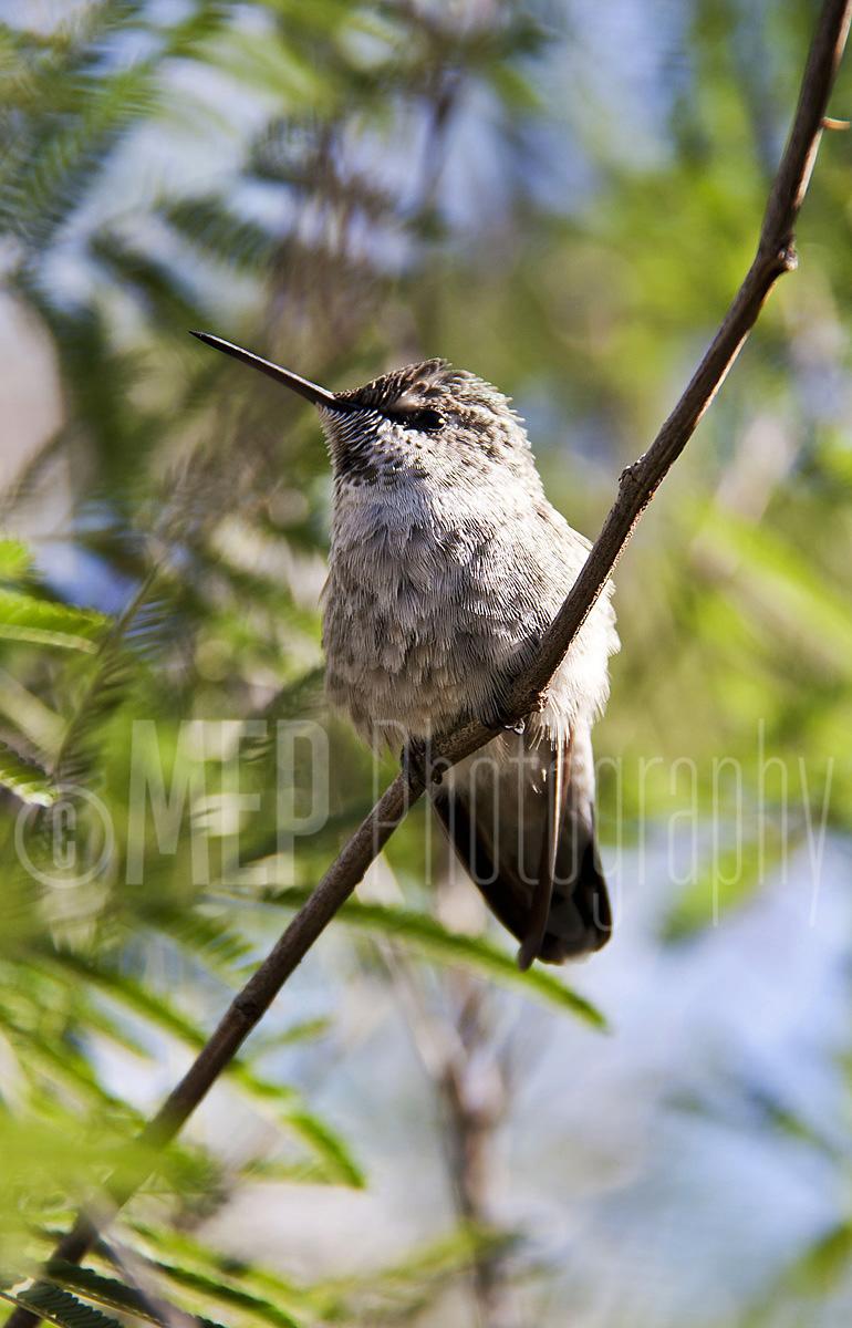 Hummingbird (2).jpg