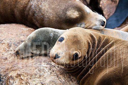 Sea lion (5)