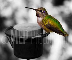Hummingbird (1).jpg