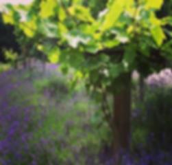 Lavendel, Weinrebe, Lunzenau, Cicchetto